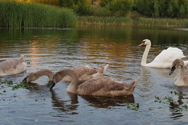 На Тернопільському ставі оселилась родина лебедів (Відео)