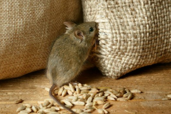 «З'їли миші»: правоохоронці затримали організатора схеми розкрадання зерна в  Україні
