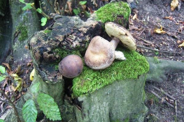 Опис вересневого лісу на околиці Теребовлі, що на Тернопільщині, в двох частинах