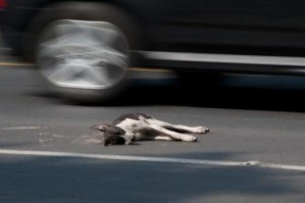 Переїхав собаку: правоохоронці Тернопільщини розшукали горе-водія