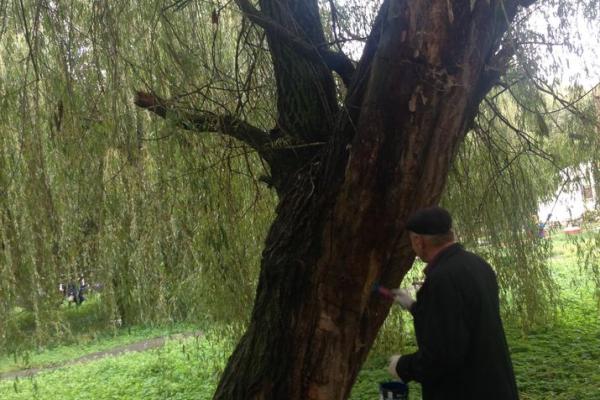 У парках Тернополя зрізатимуть сухостійні дерева