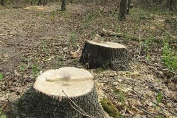 На Тернопільщині підприємства незаконно зрубували дерева