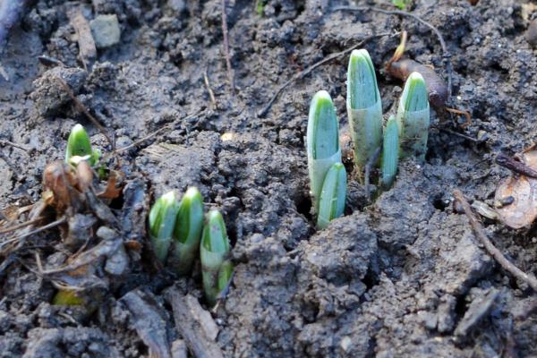 На Тернопільщині розпускаються перші весняні квіти