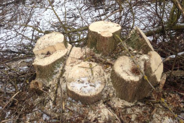 На Тернопільщині незаконно вирубали дерева на 2,3 млн грн