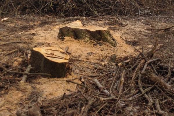 На Тернопільщині незаконно зрубали дерева на понад 1 млн грн