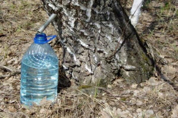 Тернополянам загрожує чималий штраф за збирання березового соку