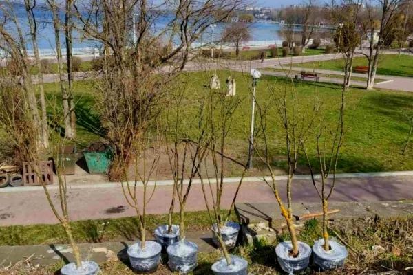 У Тернополі планують висадити декоративні листяні та хвойні дерева