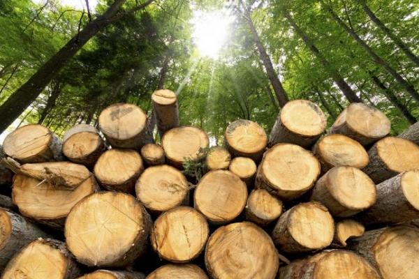 На Тернопільщині незаконно зрубали близько 300 дерев