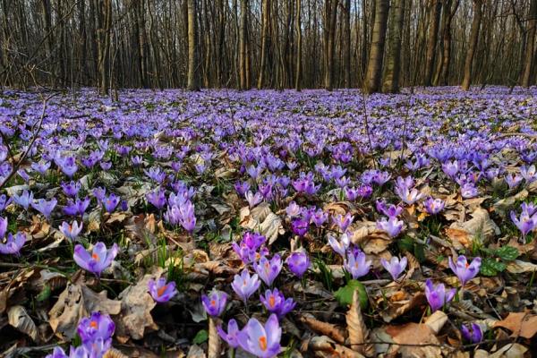Море крокусів можна побачити у лісі на Тернопільщині