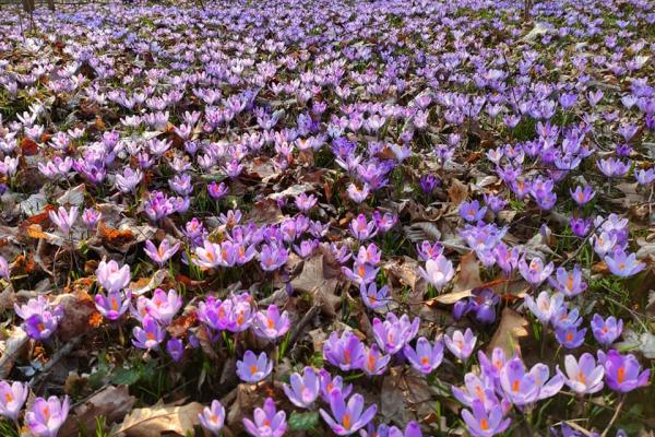 Райський краєвид: на Тернопільщині розцвіла галявина крокусів
