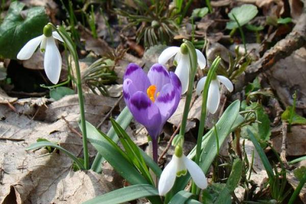 Гектари лісу на Теребовлянщині квітують шафраном і підсніжниками