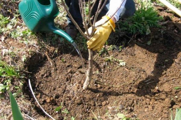 У Чорткові висадять понад тисячу дерев