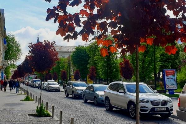 У центрі Тернополя повторно висадили 15 червонолистих кленів
