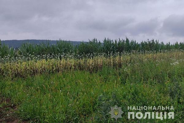 Понад 1300 рослин снодійного маку: житель Тернопільщини організував незаконну плантацію