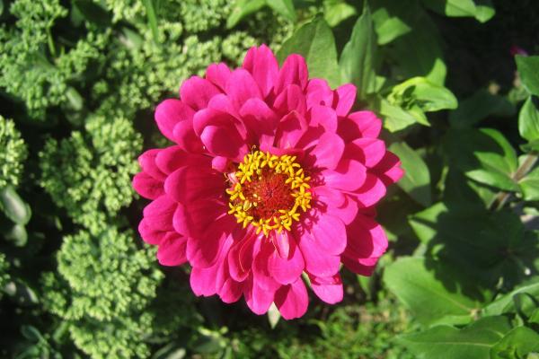Цікаве про квіти «Майори»