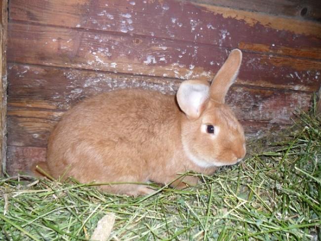 На Бучаччині масово крадуть кролів