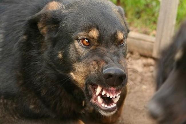 Зграя агресивних собак нападає на тернополян
