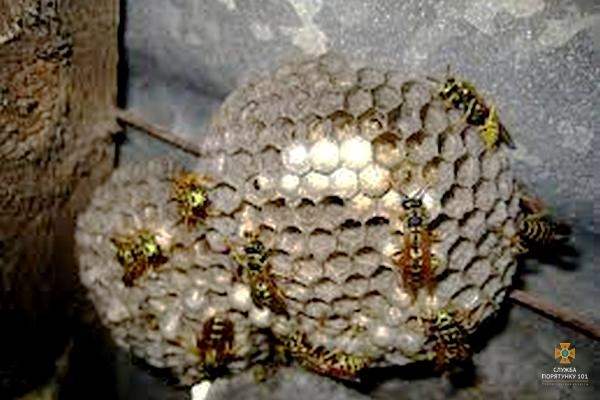 На Тернопільщині протягом вихідних рятувальники 5 разів залучалися для вилучення гнізд небезпечних комах