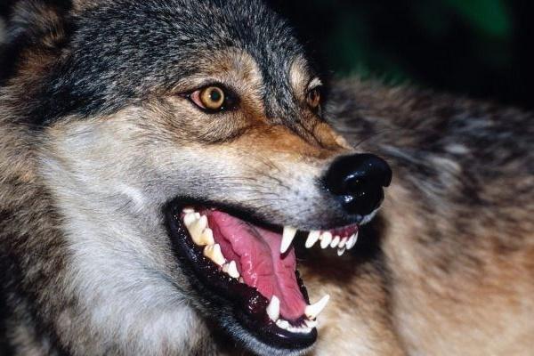 На Тернопільщині селяни скаржаться на вовків, які нищать худобу