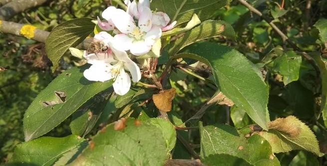 На Тернопільщині зацвіли яблуні